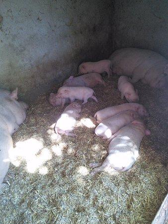 Auriol, Francia: Les bébés cochons !