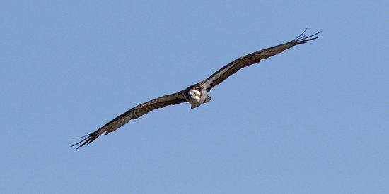 Atlantic Beach, FL: Osprey Makes Eye Contact