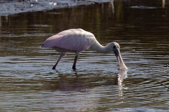 Atlantic Beach, FL: Roseate Spoonbill Dapples