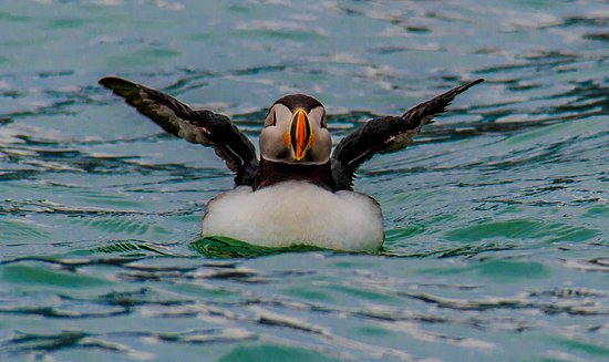 Longyearbyen, Norge: Atlantic puffin