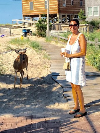 Ocean Beach, NY: deer literally walk right up to you...yes, risk of ticks...but gotta live a little!