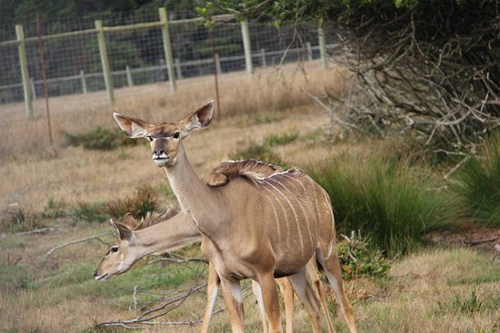 Point Arena, CA: Kudu - Not fully grown