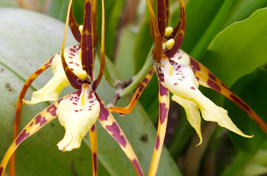 Santa Elena, Costa Rica: A further orchid...