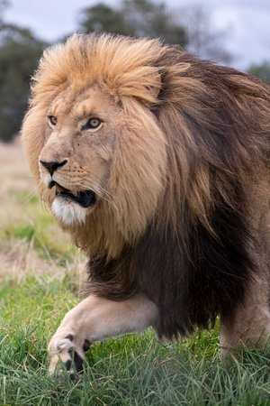 lion walking picture of plettenberg bay game reserve plettenberg