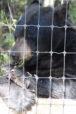 Ely, MN: Black Bear