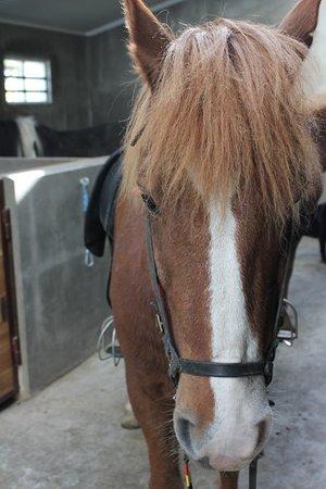 Kopavogur, Ισλανδία: Lovely horses