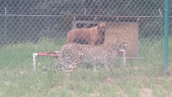 Winston, OR: Cheetah with dog friend