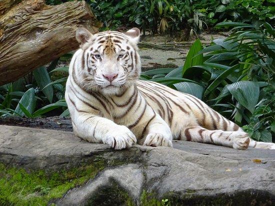 Tigre blanc  Picture of Singapore Zoo, Singapore  TripAdvisor