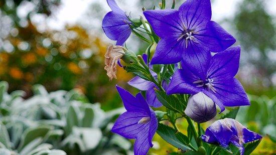 Boothbay, ME: blue bells