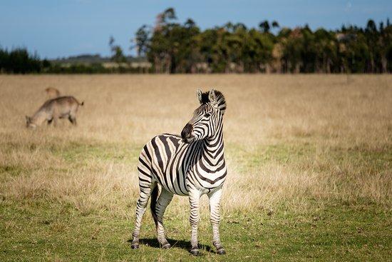 Plettenberg Bay, Sudáfrica: Zebra view