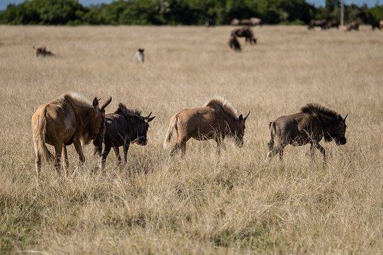 Plettenberg Bay, Zuid-Afrika: Wildebeest