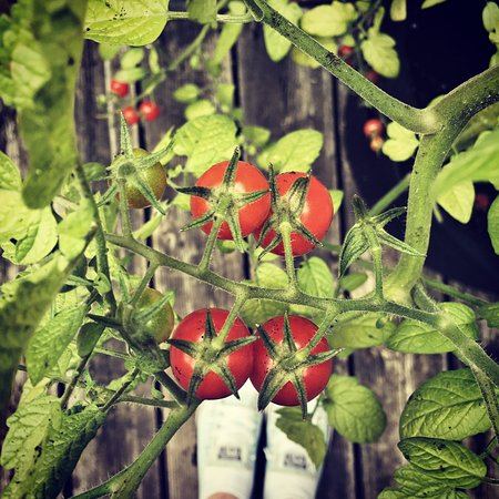 Hotel du Vieux-Quebec: Late summer tomatoes on the balcony of Room 309.
