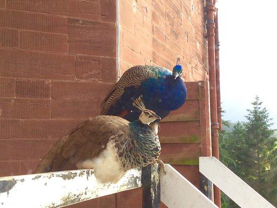 Ruthin, UK: Peacocks perching outside our bathroom window