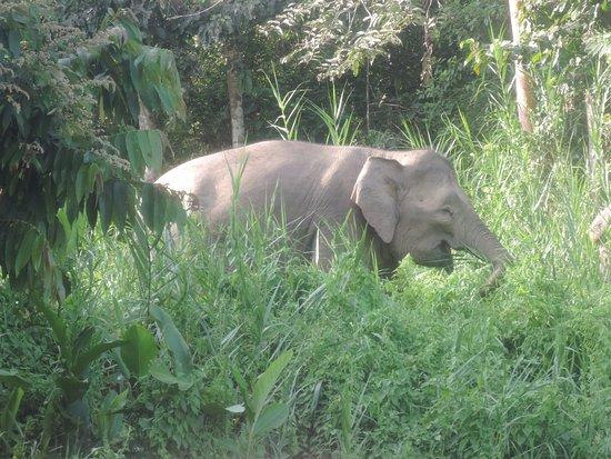 Sukau, Μαλαισία: Pigmy elephants