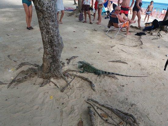 Saint François, Guadalupe: Iguane se promenant entre les touristes