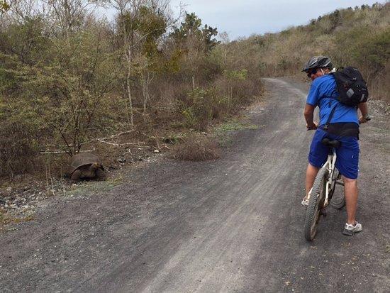 Puerto Villamil, Ecuador: De regreso del Muro de las Lágrimas, una tortuga gigante comiendo hierbas al costado del camino