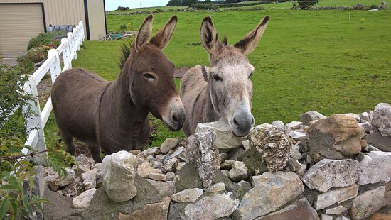 Castlebaldwin, Irlandia: super friendly donkey - tip: they like apples ;)