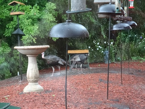 Saint Peter, MN: wild turkeys outside the window