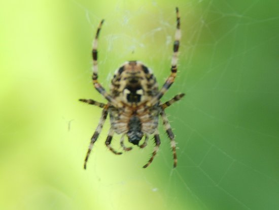 Aviemore, UK: spider