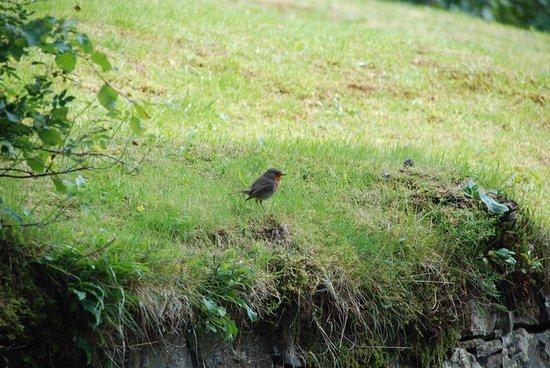 Aviemore, UK: robin