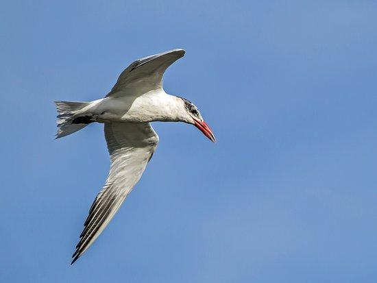 Riverside, Australia: Caspian Tern - Visitor to Tamar Island