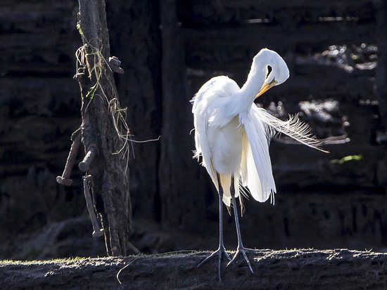 Riverside, Austrália: Great Egret preening - Tamar Wetlands
