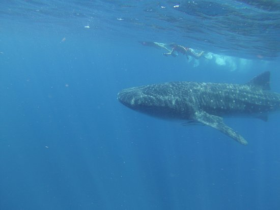 Ocean Tours Water Sports,  El Cozumeleno Beach Resort: Swimming with teh Whale Shark
