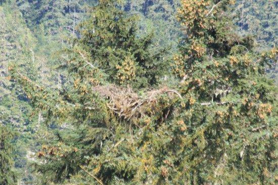 Haines, AK: Eagle nest