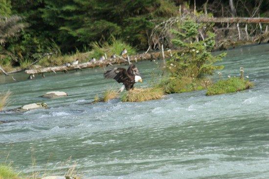 Haines, AK: Eagle
