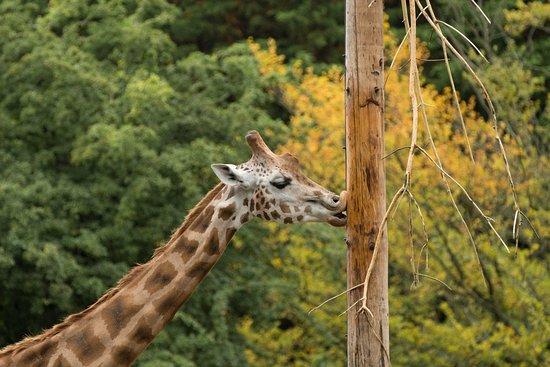 Paignton, UK: Giraffes equals one happy daughter