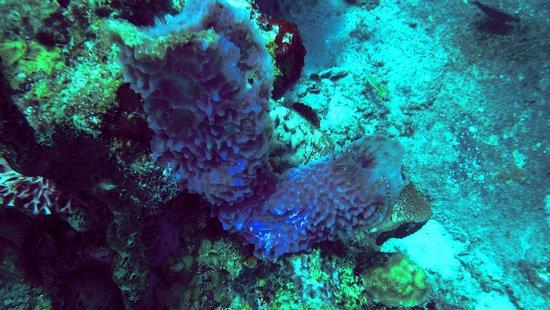 Dive Center at Sandals Halycon Beach : Coral