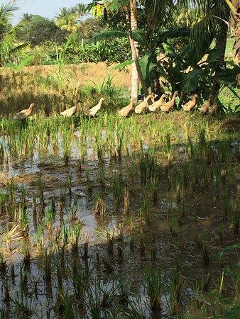 Luwak Ubud Villas: Rice paddy walk with one of Luwaks exceptional staff members
