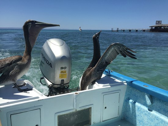 Tailhunter International Sportfishing : Pelicans taking care of leftover bait