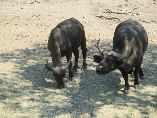 Safari West: Cape Buffalo, dangerous critters.