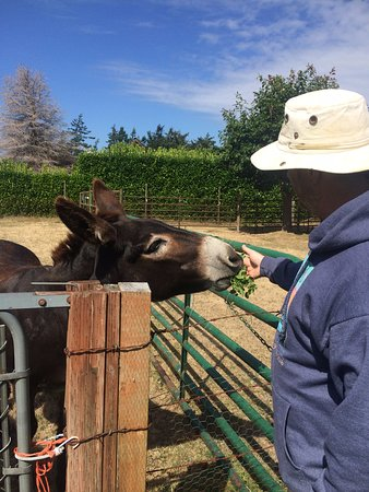 Clinton, WA: Cleo the donkey greets her visitor