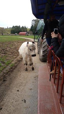 Agrodome: White cow