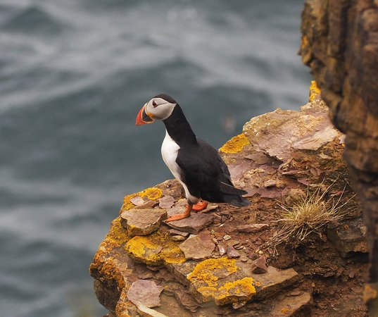 John O'Groats, UK: Puffin at The Knee, Duncansby. Copyrighted. Can be shared non-commercially.