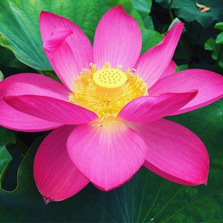Latour Marliac Fleur De Lotus
