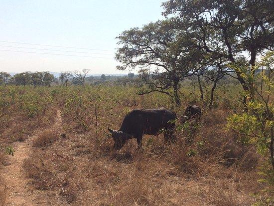 Nelspruit, Afrika Selatan: Bufalo