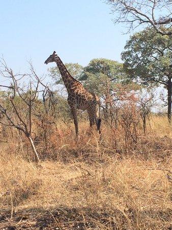 Nelspruit, Afrika Selatan: Girafa