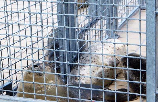 Pieterburen, Ολλανδία: foche 2