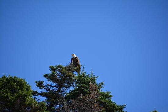 Trinity, Kanada: Majestic Bald Eagle