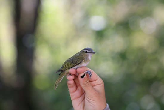 Prince Edward County, Canadá: Red-eyed vireo