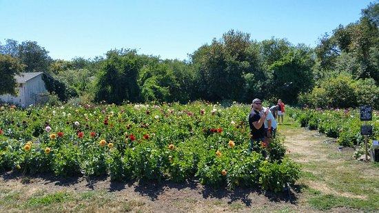 The Pescadero Flowery