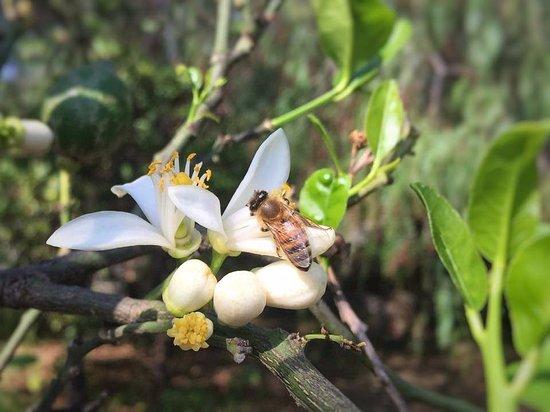 Riposto, Włochy: lemon flowers