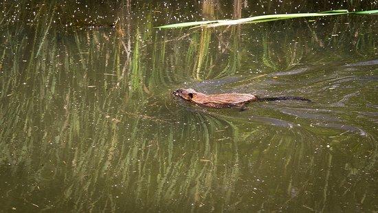 Lenox, MA: Muskrat swimming on the pond