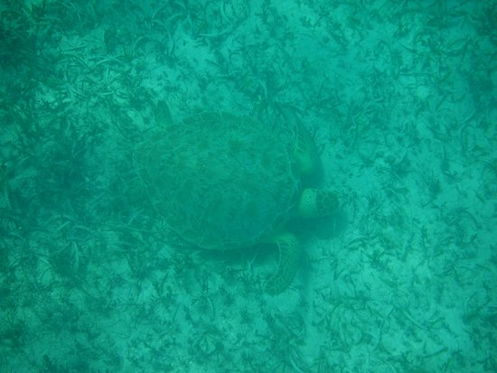 Oyster Pond, St Marteen/St. Martin : A sea turtle