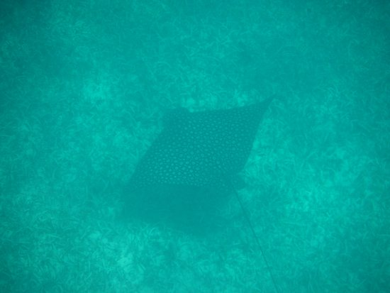 Oyster Pond, St Marteen/St. Martin : A stingray