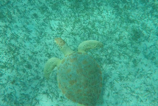 Oyster Pond, St. Maarten: Another Turtle picture