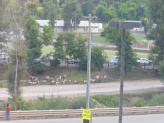 First Gold Hotel: Herd of Bighorn that live behind the hotel !!! Picture taken from our room window !!!